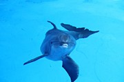Theresa Willingham Metal Prints - Dolphin Underwater Metal Print by Theresa Willingham
