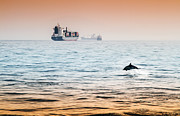 Pleasure Pyrography Prints - Dolphing playing in the sunset Print by Stephen McCluskey