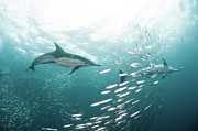 Full Length Photos - Dolphins by Alexander Safonov