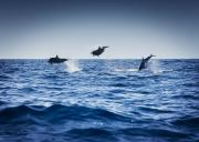 Dolphin Photo Framed Prints - Dolphins Playing In The Ocean Framed Print by Darren Greenwood