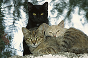 Felis Domesticus Posters - Domestic Cat Felis Catus Group Poster by Konrad Wothe