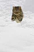 Felis Domesticus Prints - Domestic Cat Felis Catus Male Jumping Print by Konrad Wothe
