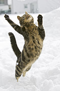 Behaviour Prints - Domestic Cat Felis Catus Male Leaping Print by Konrad Wothe