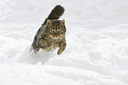Frontal Metal Prints - Domestic Cat Felis Catus Male Running Metal Print by Konrad Wothe