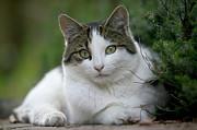 Domestic Cat Felis Catus Portrait Print by Cyril Ruoso