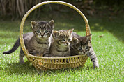 Basket Head Prints - Domestic Cat Felis Catus Three Kittens Print by Konrad Wothe