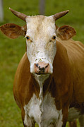 Bos Bos Posters - Domestic Cattle Bos Taurus Female Poster by Pete Oxford