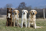 Canidae Photos - Domestic Dog Canis Familiaris Group by Konrad Wothe
