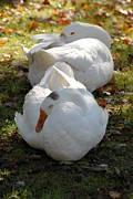 On Paper Photos - Domestic Geese 171 by Joyce StJames