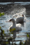 Birds Of Wells Mills Prints Posters - Domestic Geese Bathing Poster by Joyce StJames