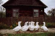 Slavic Art - Domestic Geese On A Street by Raymond Gehman