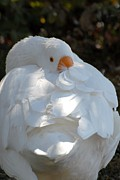 On Paper Photos - Domestic Goose 168 by Joyce StJames