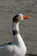 Birds Of Wells Mills Prints Posters - Domestic Goose 218 Poster by Joyce StJames