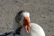 On Paper Photos - Domestic Goose 222 by Joyce StJames