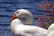 Birds Of Wells Mills Prints Posters - Domestic Goose Lakeside Poster by Joyce StJames