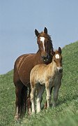 Young Horses Photos - Domestic Horse Equus Caballus Mare by Konrad Wothe