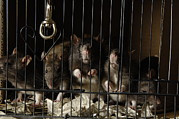 Sutton Prints - Domestic Rats At The George M. Sutton Print by Joel Sartore