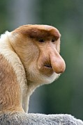 Proboscis Photos - Dominant Male Proboscis Monkey by Chris Hellier