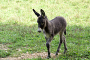 Donkey Digital Art Metal Prints - Donkey Colt Metal Print by Annlynn Ward