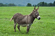 Burro Metal Prints - Donkey Metal Print by John Greim