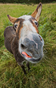 Cheeky Photo Framed Prints - Donkey Framed Print by Rory Trappe