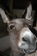 LeeAnn McLaneGoetz McLaneGoetzStudioLLCcom - Donkey Sniffs