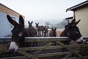 Donkey Photo Metal Prints - Donkeys Metal Print by Dawn OConnor