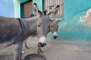 Donkey Photo Metal Prints - Donkeys, Harar, Ethiopia, Africa Metal Print by David DuChemin