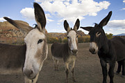 Urban Scenes Prints - Donkeys Peer At The Camera In A Desert Print by Ralph Lee Hopkins