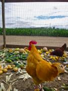 Rooster Photos - Dont forget your veggies ... by Gwyn Newcombe