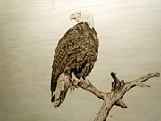Bald Eagle Pyrography Framed Prints - Dont Look Back  Framed Print by Adam Owen