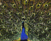 Peacock Digital Art Metal Prints - Dont Look Back Metal Print by Ernie Echols