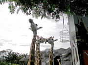 Kate Farrant - Giraffes Playing at the zoo
