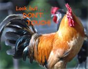 Roosters Photos - Dont Touch by Norman  Andrus