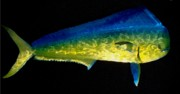 Fish Sculpture Originals - Dorado by Diane Snider