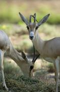Zoo Animals Photo Prints - Dorcas Gazelle At The Sedgwick County Print by Joel Sartore