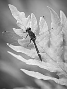 Dragonfly Prints - Dot-Tailed Whiteface Print by Jeremy Martin