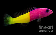Tropical Fish Posters - Dottyback Poster by Danté Fenolio