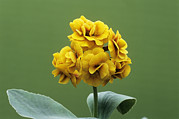 Primula Auricula Photos - Double Auricula golden Hind Flowers by Archie Young