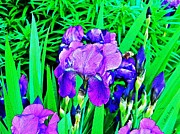 Straps Prints - Double Blooming Iris Print by Chris Berry