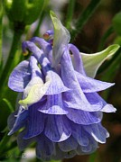 Jem Fine Arts Photos - Double Columbine named Light Blue by J McCombie