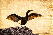 Cormorant Framed Prints - Double-crested Cormorant Framed Print by Bob Orsillo