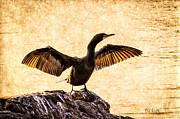 Double-crested Cormorant Print by Bob Orsillo