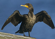 Stretching Wings Posters - Double Crested Cormorant Drying Poster by Tim Fitzharris