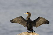Phalacrocorax Auritus Photos - Double Crested Cormorant Drying Wings by Sebastian Kennerknecht