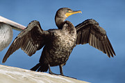 Phalacrocorax Auritus Photos - Double Crested Cormorant Drying Wings by Tim Fitzharris