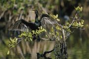 Phalacrocorax Auritus Photos - Double-crested Cormorant Phalacrocorax by Roy Toft