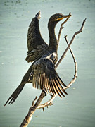 Double-crested Cormorant Framed Prints - Double Crested Cormorant  Framed Print by Saija  Lehtonen