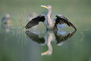 Phalacrocorax Auritus Photos - Double Crested Cormorant Stretching by Tim Fitzharris