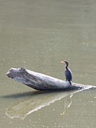 Indiana Rivers Metal Prints - Double-crester Cormorant Metal Print by Jack R Brock